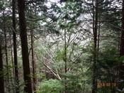 03 山桜の大木DSC04479.JPG