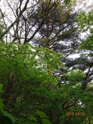 11 赤松の大木DSC05799.JPG