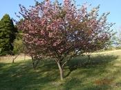 44 ボタン桜?DSC05774.JPG