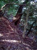 0-050樫の大木1.jpg