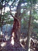 0-051樫の大木2.jpg