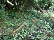 06 林縁の群落DSC06277.JPG