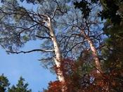 12.赤松の大木上部DSC01317.JPG
