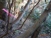 15 櫟の若木?DSC05310.JPG