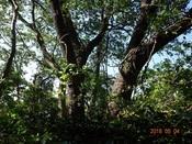 16. 山桜の大木DSC04948.JPG