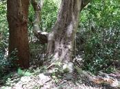 18 2種類の大木DSC05622.JPG