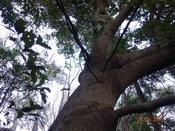 20 尾根上の大木DSC04130.JPG