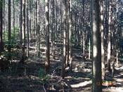20 綺麗な杉林DSC03433.JPG