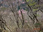 20木に隠れるアケボノDSC02053.JPG
