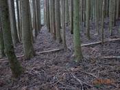 21. 綺麗な植林並びDSC03799.JPG