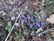 21 路上の紫の花DSC04131.JPG