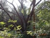 22 山桜の大木DSC03653.JPG