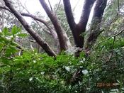 22 山桜の大木DSC05517.JPG