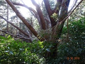 26 山桜の大木DSC03442.JPG