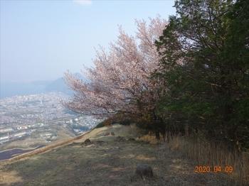 (08) 山桜の大木を振り返る DSC07405.JPG
