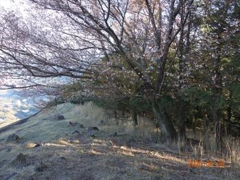 (16) 山桜の大木DSC07373.JPG