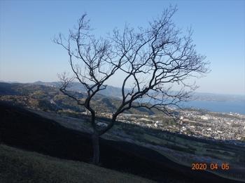 (17) 一本櫟の芽吹きDSC07379.JPG