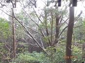 (39)山桜の大木DSC05467.JPG