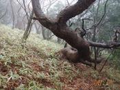 (7) 赤松の竜DSC08121.JPG