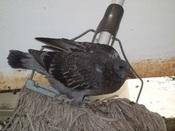 32. 子バト(19)下の鳥DSC02652.JPG