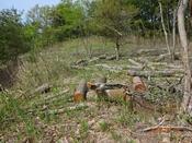 33 櫟の伐採木(2)DSC05928.JPG