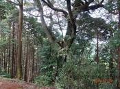 35. 境内の大木DSC05118.JPG