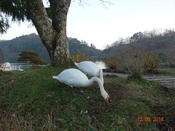 36. 草を食む白鳥(1)DSC03353.JPG