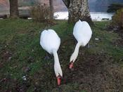 37. 草を食む白鳥(2)DSC03362.JPG