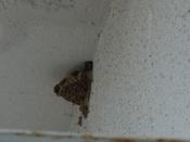 43. ツバメの巣(3) 7月22日 DSC02366trim.jpg